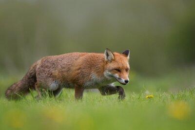Фотообои Красная лиса ходить в поле травы и цветы
