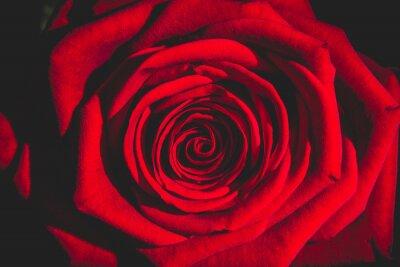 Фотообои красная роза из темноты
