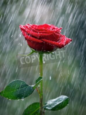 Фотообои Красная роза с каплями воды в дождь