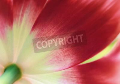 Фотообои Красный тюльпан крупным планом, абстрактный весенний фон