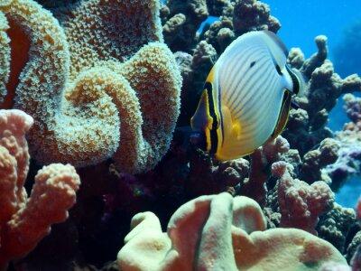 Фотообои Redfin Butterflyfish (Chaetodon lunuqlatus)