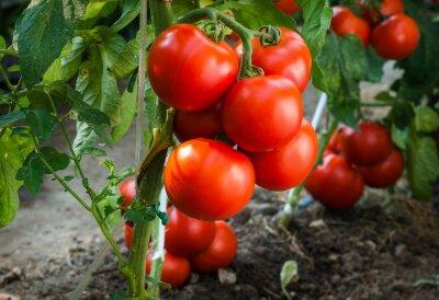 Фотообои Спелые помидоры в саду готовы к сбору урожая
