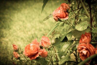 Фотообои Розы в саду.