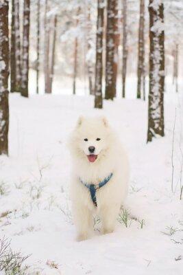 Фотообои Самоед собака пребывания в снежном лесу