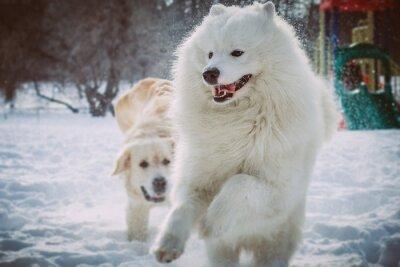 Фотообои Самоед работает в зимнем парке