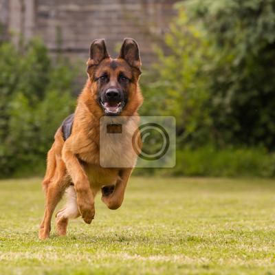 Фотообои Schaeferhund laeuft