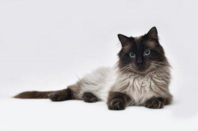 Фотообои Печать точка Ragdoll кошка