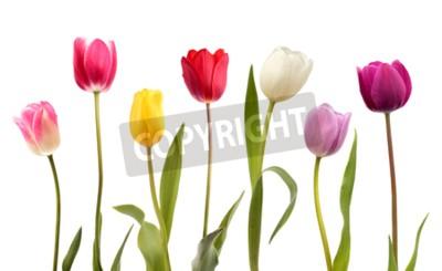 Фотообои Набор из семи различных цветов тюльпанов, изолированных на белом фоне