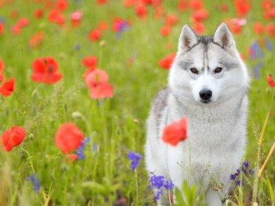 Фотообои Сибирский хаски - маки цветы