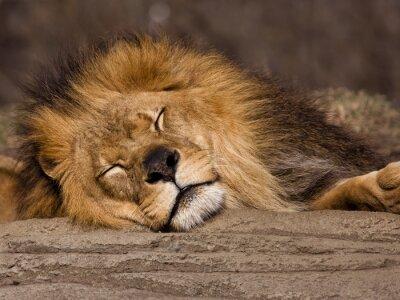 Фотообои Спящий лев