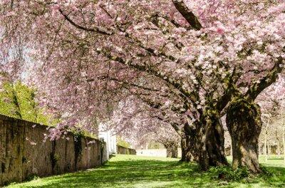 Фотообои Весна Мечта: японская вишня в цвету :)