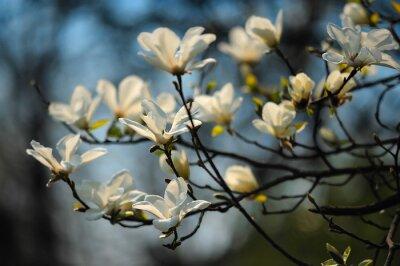 Фотообои Весна дерево в цветы, магнолии