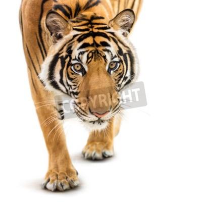 Фотообои Stalking молодой амурский тигр на белом фоне