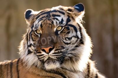 Фотообои Суматранский тигр (Panthera Tigris sumatrae) является редким подвидом тигра, который обитает на индонезийском острове Суматра