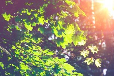 Фотообои Солнечный Зеленые листья клена