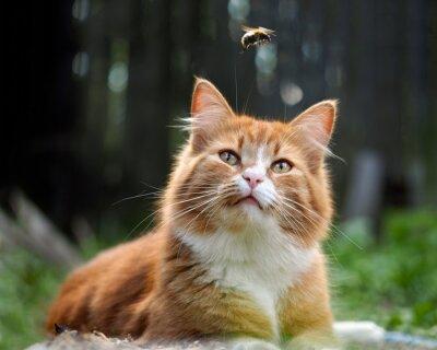 Фотообои Кошка наблюдает за полетом шмеля. Кот большой, красный и пушистый. Концептуально - животные отдыха на открытом воздухе. Кошка охотится на насекомых. Укусы насекомых и аллергии у животных