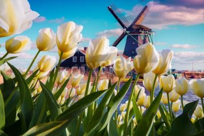 Фотообои Знаменитые голландские ветряные мельницы среди цветущих белых тюльпанов. Солнечная открытая сцена в Нидерландах. Красота концепции сельской местности. Творческий коллаж.