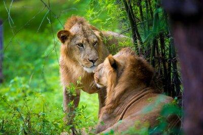 Фотообои Очень редкий азиатский лев в национальном парке в Индии. Эти национальные сокровища в настоящее время защищены, но в связи с ростом городов, они никогда не смогут бродить в Индии, как они привыкли.