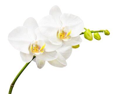Фотообои Три дня старый орхидеи на белом фоне.