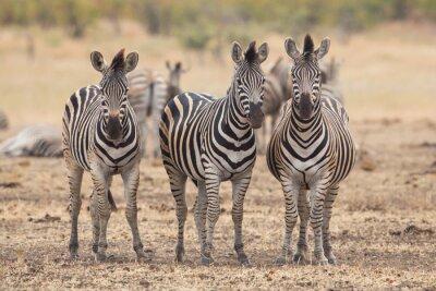 Фотообои Три зебры, парк Крюгера, Южная Африка