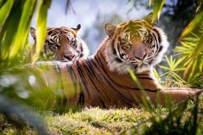 Фотообои Tiger Brothers