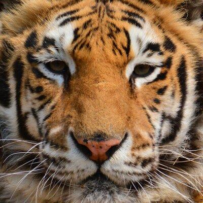 Фотообои Тигр лицо крупным планом