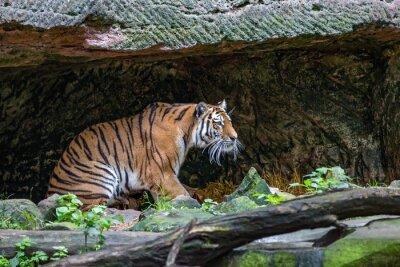 Фотообои Тигр в пещере