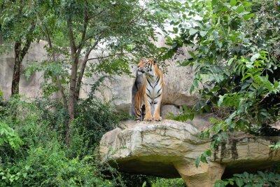 Фотообои Тигр является свирепым скорость.