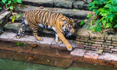 Фотообои Тигр возле водопоя
