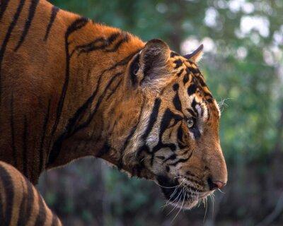 Фотообои Тигр, портрет бенгальского тигра