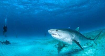 Фотообои тигровая акула