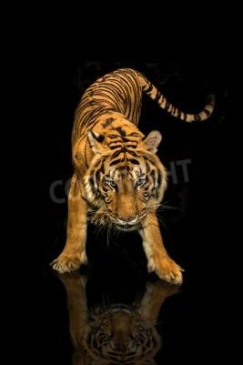 Фотообои тигра, ходить на черном фоне