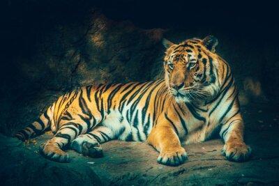 Фотообои тигр с каменным горным фоном в темной мрачной величественной опасно, пугая чувство цветового эффекта.