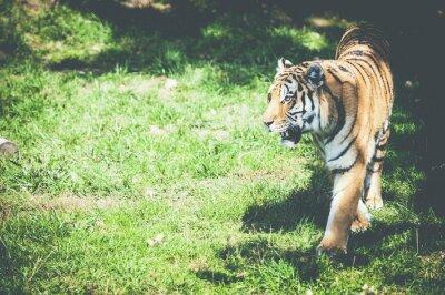 Фотообои Тигре