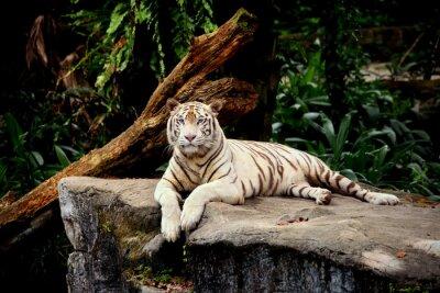Фотообои Тигре аллонж