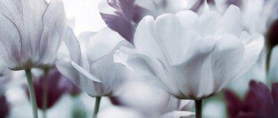 Фотообои Концепция тонированные тюльпаны