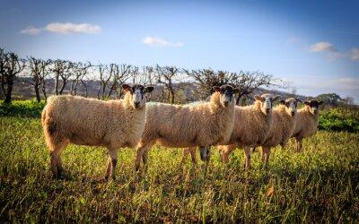 Фотообои Tradycyjne angielskie Owce