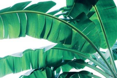 Фотообои Tropical green leaves pattern on white background, lush foliage of banana palm leaves the tropic plant.