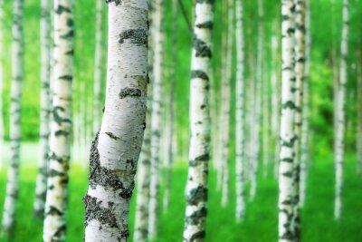 Фотообои trunk of birch tree