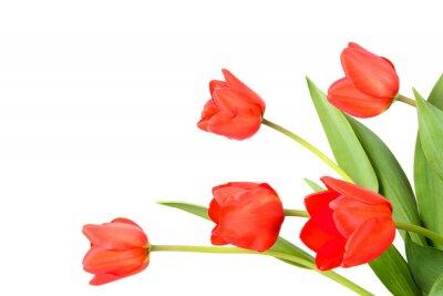 Фотообои Тюльпаны на белом фоне