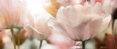 Фотообои Солнечные лучи света тюльпанов