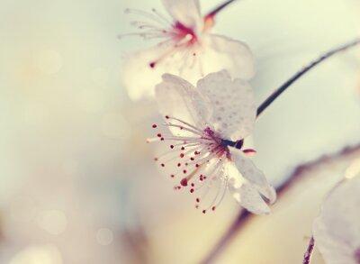 Фотообои Два цветка вишни крупным планом