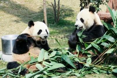 Фотообои Два гигантских панды едят бамбук