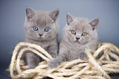 Фотообои Два серый котенок британский и веревка на сером фоне