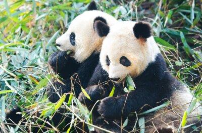 Фотообои Два панд едят бамбук, сидя бок о бок, Китай