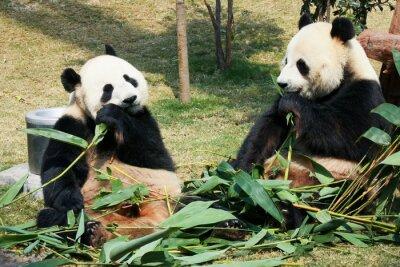 Фотообои Две панды едят бамбук
