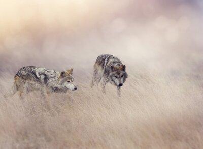 Фотообои Два Волки в высокой траве