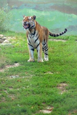 Фотообои Tygrys bengalski