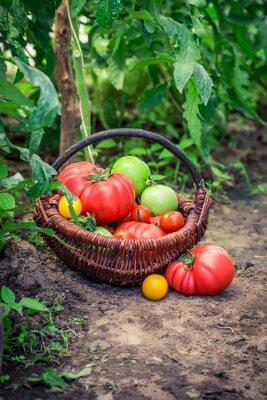 Фотообои Различные помидоры на земле
