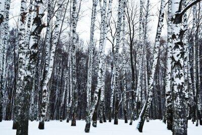 Фотообои вид снежной березовом лесу зимой